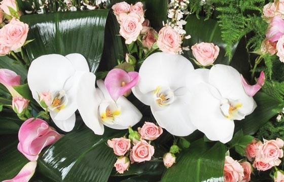 vue sur des fleurons d'orchidée de couleur blancs de la raquette Angélus