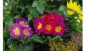zoom sur les primevères de la coupe de plantes