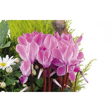 L'Agitateur Floral |vue sur de magnifiques cyclamen fuchisia de la composition infini