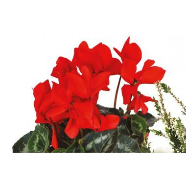 L'Agitateur Floral |vue sur des cyclamen rouge de la composition Etincelle