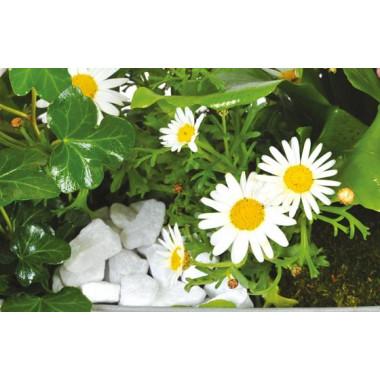 L'Agitateur Floral |vue sur les anthémis blancs de la jardinière de plantes roses & blanches Calypso