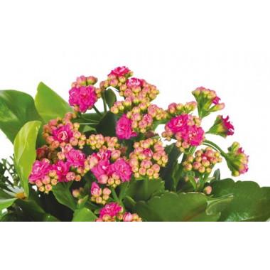 L'Agitateur Floral |vue sur le kalanchoé rose de la jardinière de plantes roses & blanches Calypso