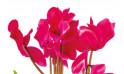 L'Agitateur Floral |vue sur des cyclamens de la Composition de deuil rose-fuchsia Voyage Eternel