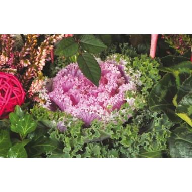 L'Agitateur Floral |vue sur un choux d'ornement de la Coupe de plantes vertes & rouges Morphée