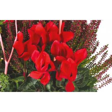 L'Agitateur Floral |vue sur un cyclamen rouge de la Coupe de plantes vertes & rouges Morphée