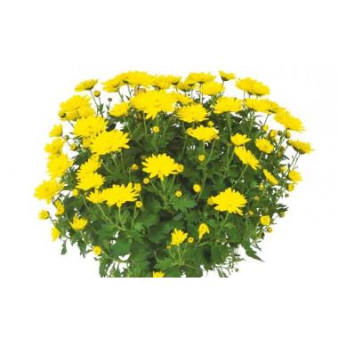 vue sur un chrysanthème boule jaune de la Composition de deuil jaunes & mauve L'Oasis