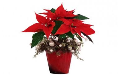 image du Poinsettia rouge Noël Etoilé