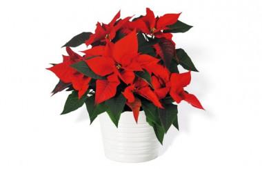 image du Poinsettia rouge en fleurs