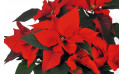 zoom sur les feuille du Poinsettia rouge en fleurs