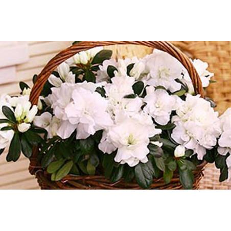 L'Agitateur Floral |image de l'Azalée blanche en pot