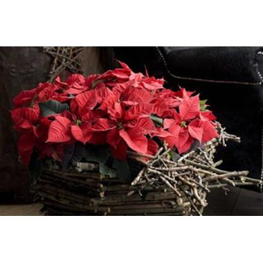 L'Agitateur Floral |image de la Coupe de Mini Poinsettia Rouge
