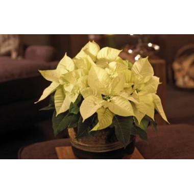 L'Agitateur Floral |image du Poinsettia blanc en fleurs