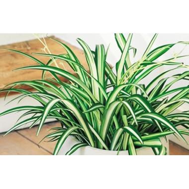 image de la Plante dépolluante Chlorophytum