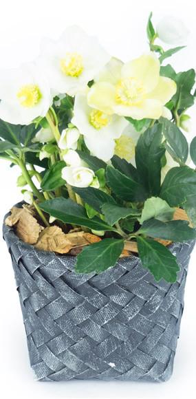 hell bore gold blanche livraison rose de no l par un fleuriste en 4h l 39 agitateur floral. Black Bedroom Furniture Sets. Home Design Ideas