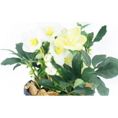 L'Agitateur Floral |zoom sur les fleurs de l'hellébore