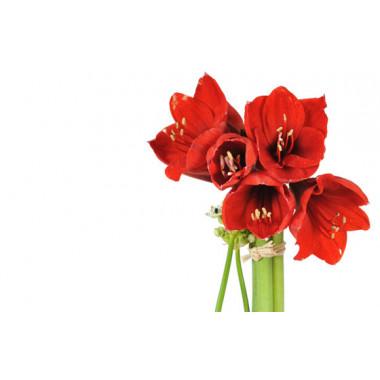 L'Agitateur Floral |vue sur de magnifique amaryllis rouge de la Composition de fleurs rouges Fidji