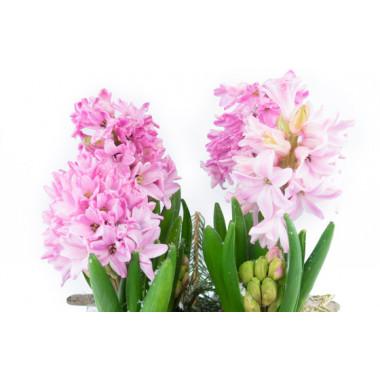 L'Agitateur Floral |macro sur les jacinthes rose