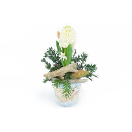 image de la Jacinthe blanche en pot du nom de Pomme & Jacinthe