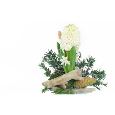 zoom sur la Jacinthe blanche en pot