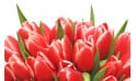 zoom sur le haut du Bouquet de tulipes rouges Perle Douce