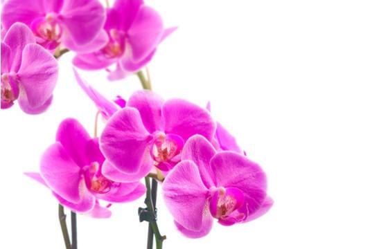 macro sur l'Orchidée Double Branche Rose Mauve