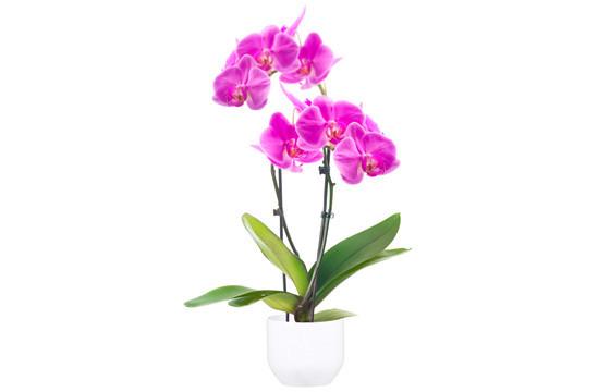 image de l'Orchidée Double Branche Rose Mauve