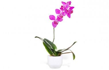 image de l'Orchidée Rose Mauve Une Branche
