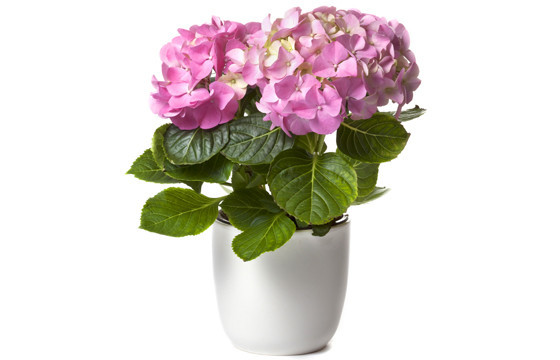 image d'une magnifique Hortensia Rose