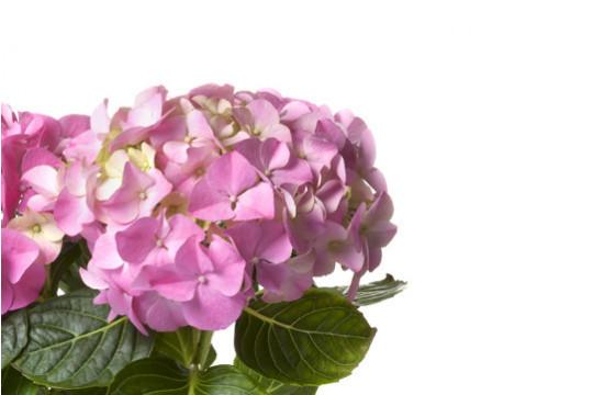 macro sur les fleurs de l'Hortensia Rose