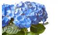 macro sur les tête de l'Hortensia Bleu