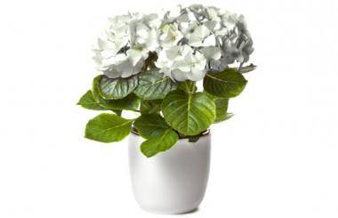 image d'un magnifique Hortensia Blanc à faire livrer par un fleuriste