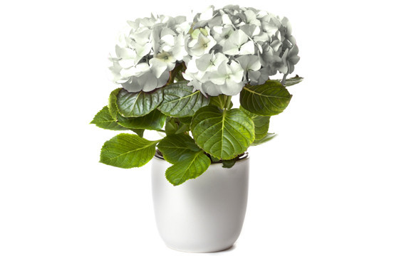 hortensia blanc plante de saison livr e par un fleuriste local en 4h l 39 agitateur floral. Black Bedroom Furniture Sets. Home Design Ideas
