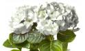 image de la tête de l'Hortensia Blanc