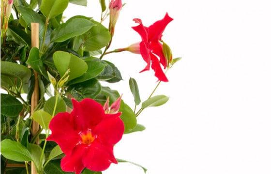 macro sur les fleurs rouge du dipladenia