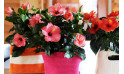image d'un magnifique Hibiscus en fleurs à faire livrer par un fleuriste