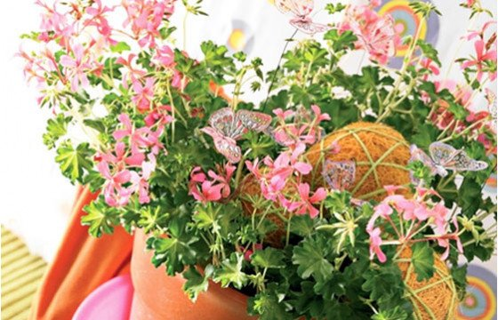 image du géranium en fleurs à faire livrer par un fleuriste