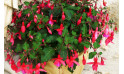 image de la Plante de Saison un Fuchsia en fleurs