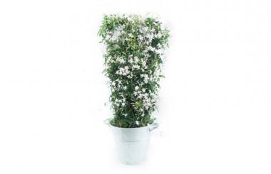Image du jasmin en fleurs photo principale