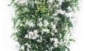 Zoom du jasmin en fleur photo principale