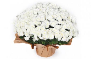 image de la plante blanche pour la toussaint - Chrysanthème Multifleurs Blanc
