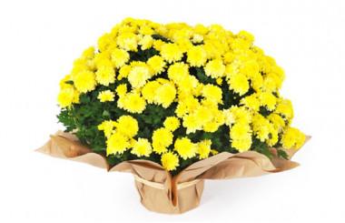 Image principale Chrysanthème multifleurs jaune