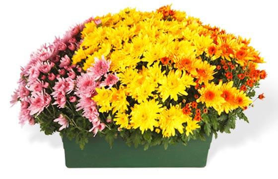 L'Agitateur Floral |deuxième image de la Jardinière de Chrysanthèmes tons jaune orange et rose