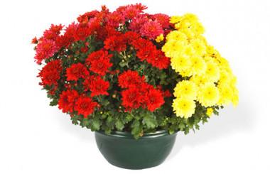 L'Agitateur Floral | image de laCoupe de Chrysanthèmes rouges et jaunes