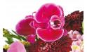 L'Agitateur Floral | zoom sur un fleuron d'orchidée