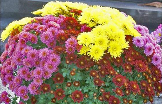 L'Agitateur Floral |image d'une composition d'un mélange de chrysanthème