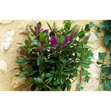 L'Agitateur Floral |image de la Véronique une Plante Fleurie violette
