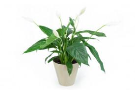"""Spathiphyllum """"Fleur de Lune"""""""