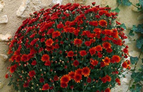 L'Agitateur Floral |zoom sur le Chrysanthème Multifleurs Rouge Orange
