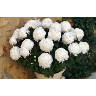 L'Agitateur Floral | zoom sur le chrysanthème Boule Blanc