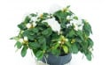 Agitateur Floral | Azalée blanche avec décoration zoom
